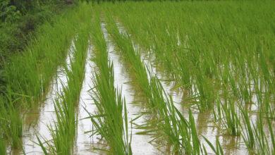 صورة تنظيم يوم الحقل لمحصولي الأرز الهجين والقطن
